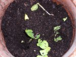"""""""Giant Pumpkin"""" seed, planted on 3/13/11"""