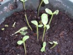 Sunflower seed grew, planted on 3/13/11
